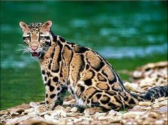 I love the patterns on this clouded leopard.