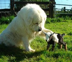 Great Pyrenees protect all animals on the property and consider them all as part of their family. Animals And Pets, Baby Animals, Funny Animals, Cute Animals, Wild Animals, Funny Cats, Cute Puppies, Cute Dogs, Dogs And Puppies