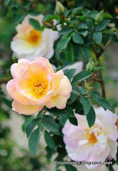 Fruhlingsduft est un bel arbuste de 180 à 220 cm, vigoureux et sain. Très parfumées, les fleurs de 8 cm sont doubles, d'un tendre coloris blanc à jaune pâle, légèrement teinté de rose. Il ne fleurit qu'une fois très tôt au printemps. Hybride de spinosissima. Kordes, 1949.