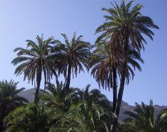 Palmeras en Gran Canaria. La Palmera canaria (Phoenix canariensis) es una planta autóctona de las Islas Canarias. Gran Canaria. Islas Canarias