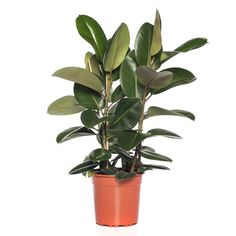 Rubberboom+(Ficus+elastica+'Robusta')+D+27+cm