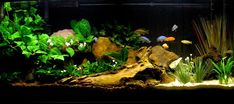 My Cichlid Sanctuary.