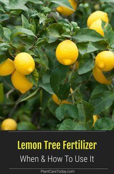 Lemon Tree Fertilizer When How To Use It Details Lemon Tree Potted Growing Lemon Trees Indoor Lemon Tree