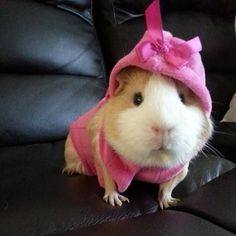 So Many Guinea Pigs So Pretty In Pink...see more at PetsLady.com -The FUN site for Animal Lovers