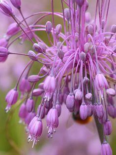 ~~Keeled Garlic (allium carinatum subsp. pulchellum) by celerycelery~~