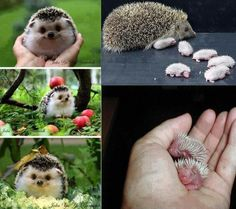 The Hedgehog, one of the most beautiful animals of the Earth!