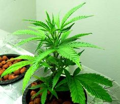 Learn exactly how to set up your MH / HPS grow lights so that you create the perfect setup for growing marijuana. Everything is easier with pictures!   Grow Weed Easy