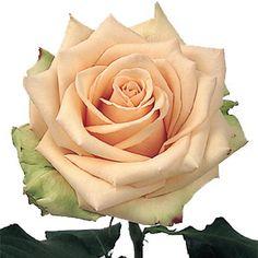 sahara rose / champagne colored rose