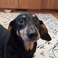 Rochester, Minnesota - #dachshund. Meet Freida, a for adoption. https://www.adoptapet.com/pet/20725803-rochester-minnesota-dachshund-mix