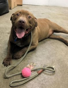 URGENT! FOSTERS\/ADOPTERS\/RESCUES NEEDED ASAP! <BR>\r\nSHELTER IS AT FULL CAPACITY! <BR>\r\n<BR>\r\nHERCULES (20636) <BR>\r\nAbout Hercules 20636 <BR>\r\nHercules is a huge Chocolate Lab. He is easily 20 pds overweight.(Neutered) He is a recent owner surrender, his owners were moving and couldn't take him. At first he looked a me like \
