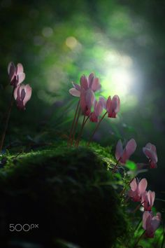 ~~Cyclamens and light.. by Makis Bitos ~~