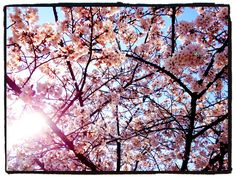 sakura in Japan 2012