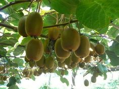 Growing Kiwi Fruit in your garden...really not that hard!