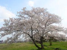Cherry of Heijyo-kyo in The World Heritage