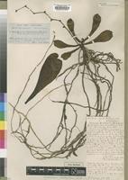 Aerangis flabellifolia