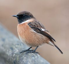 One of my favourite birds, very common on #Gower - Beautiful stonechat seen at #RSPB's Rainham Marshes #nature reserve.