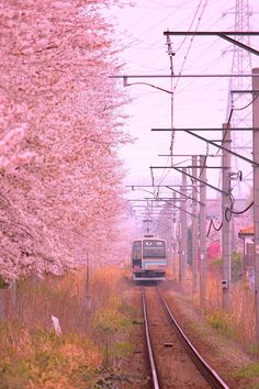 Cherry trees lined path (桜並木 Sakura- namiki) Side by Train in Japan Great Places, Places To Go, Beautiful Places, Japanese Photography, Photographs Of People, By Train, Flower Of Life, Plein Air, Flower Photos
