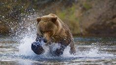 Congratulations Runner Up Making a splash! #photographytalk #wildlife #bear