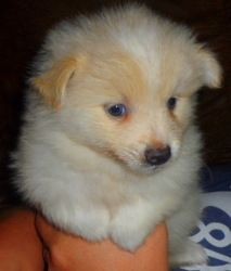 pomeranianamerican eskimo mix pup just like the proposal