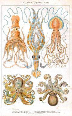Vintage Squid educational plate 1902