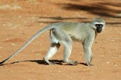 Male Vervet Monkey Types Of Monkeys, Art Reference, Kangaroo, Art Boards, Ark, Pictures, Animals, Friends, Nature