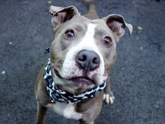 """Manhattan Center FOREST - A1029778 *** RETURNED 03/15/15 - """"ATT PEOPLE"""" NEUTERED MALE, I was happy to see that Forest was adopted quickly – he's a good dog and deserves a good home. I was then sad to see that after ONE DAY, Forest was returned to our care with the comment 'we are seeing behaviors we didn't see at the shelter""""."""