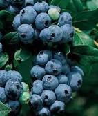 Rubel blueberry