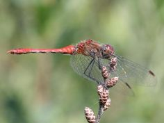 Entomologia agraria: Libellule - Anisotteri