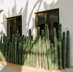 How to care for you Mexican Fence Post Cactus — Cactus Hound Landscaping With Roses, Yard Landscaping, Indoor Cactus, Indoor Plants, Outdoor Cactus Garden, Cacti Garden, Agaves, Plant Design, Garden Design