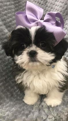 The origin of Shih Tzu is ancient and is covered in a lot of mystery. It has been established that this dog is among the 14 oldest breeds and bones excavated in Dachshund Puppies, French Bulldog Puppies, Cute Dogs And Puppies, Doggies, Irish Terrier, Pitbull Terrier, Scottish Terriers, Yorkshire Terriers, Cairn Terriers