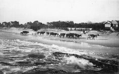 Currumbin, Gold Coast, Queensland, 1929 - Horseman herds cows and calves along Currumbin Beach. An unusual sight of cattle being herded along a beach with surf breaking around their hooves.