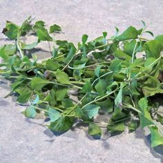 stevia-stems. How to start stevia plants, grow, harvest and preserve the leaves. And how to overwinter plants inside.