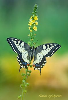 Etude With Swallowtail ▪ The Old World Swallowtail, female, second generation. #papilio machaon ▪ Photo by Leonid Fedyantsev