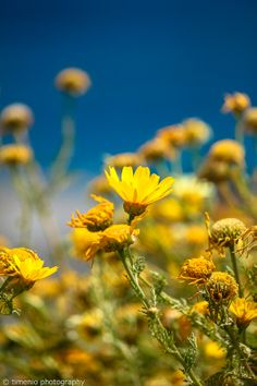 Daisy and the Aegean My Flower, Flowers, Rainy Weather, Argos, Flower Wallpaper, Sunny Days, Greece, Daisy, Nature
