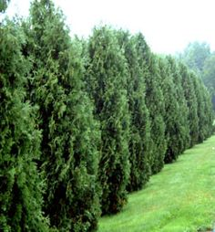 The Thuja Green Giant grows extremely quickly growing up to 3-5 feet per year.  It's a hardy plant that works in many locations.  If you have neighbors you want to block out the Thuja Green Giant is the privacy tree of choice.    We offering a new customer special 10% off all new orders using coupon code gardening. On our site below $7.50 www.bulbsnblooms.com