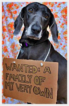 Hi! My name is Tina and I'm a super happy, sun-shiny girl. I'm available to adopters living in Texas through The Weimaraner Rescue of Texas. I like all other dogs and I'm pretty sure that the whole reason humans exist is to love on me and so for that reason I LOVE all people.  Via:  http://www.dogshaming.com/2013/01/adoptable-fridays-tina/