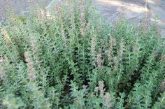 Germander is a flexible herb that can be used as an ornamental plant, an edging in your garden or to attract beneficial insects to your garden.