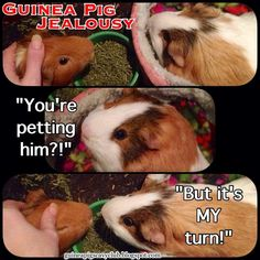 A compilation all of our Guinea Pig Funnies starring Dan, Chewy, and Chunky from our Facebook page: https://www.facebook.com/guineapigscavyc...