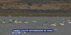 """""""O Grito do Bicho"""": Cisnes são envenenados na China"""