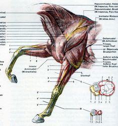 Анатомия животных