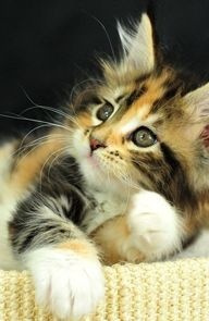calico kitten. - http://crazyforkitties.net/calico-kitten/