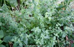 Fresh Oregano - how to cut, wash, dry, store and use fresh garden oregano.