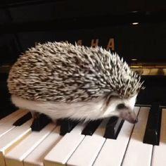 Pianist Hedgehog gif