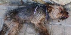 Partido animalista PACMA: Justicia con la maltratadora del yokshire Tobi
