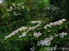 KALINY Roseum z tyłu, z przodu Red Robin « ...uDany ogród - strona 203 - Forum ogrodnicze - Ogrodowisko