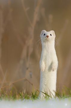 Dashing through the snow, this little stoat is on the lookout for a Christmas feast. Bobbing its head as it moves through the frosty grass, the adorable creature darts and leaps across the field as it searches for the perfect meal in Cousset, Switzerland