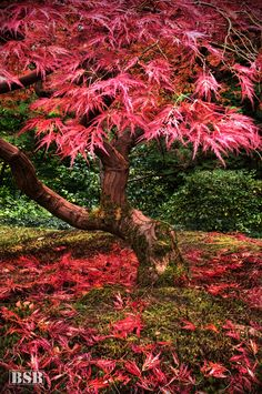 Autumn in Japanese Maple tree, Japanese Gardens in Portland, Oregon, USA