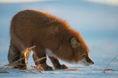 Red Fox by Ivan Kislov Fox Spirit, Spirit Animal, Animals And Pets, Cute Animals, Fabulous Fox, Fox Hunting, Wild Dogs, Animal Totems, All Gods Creatures