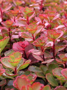 338 best perennials for zone 4 images on pinterest planting sedum spurium fulda glow fuldaglut stonecrop height short 4 plant 10 bluestone perennials mightylinksfo