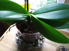 Lazy Flipped-Sideways Orchid Leaf very puzzling
